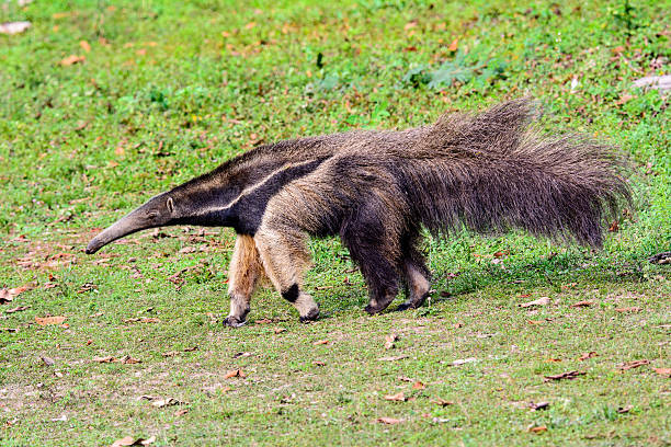 giant anteater on the move giant anteater searching for its next meal Giant Anteater stock pictures, royalty-free photos & images