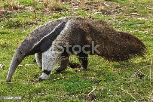 istock Giant anteater (Myrmecophaga tridactyla) 1093340400
