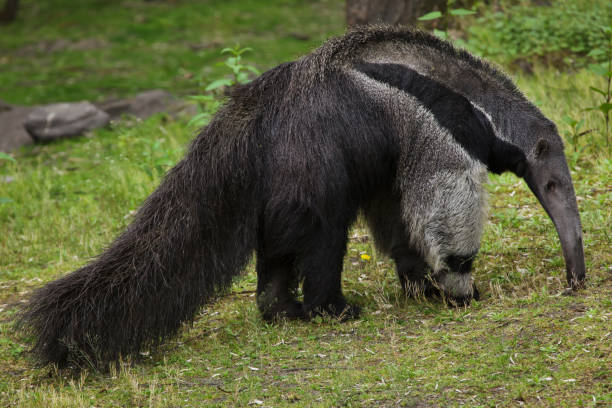 Giant anteater (Myrmecophaga tridactyla) Giant anteater (Myrmecophaga tridactyla), also known as the ant bear. Giant Anteater stock pictures, royalty-free photos & images