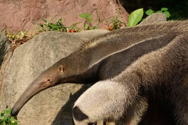 giant anteater (Myrmecophaga tridactyla) beautiful picture of giant anteater (Myrmecophaga tridactyla) in nature Giant Anteater stock pictures, royalty-free photos & images