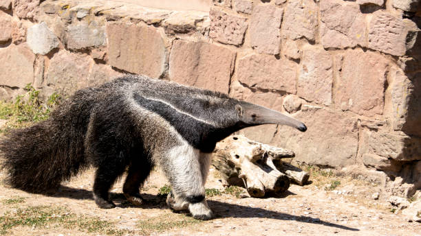 A Giant Anteater A Giant Anteater, also known as an Ant Bear Giant Anteater stock pictures, royalty-free photos & images