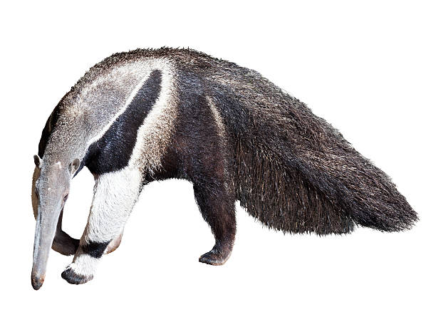Giant anteater Giant anteater (Myrmecophaga tridactyla). Isolated over  white background Giant Anteater stock pictures, royalty-free photos & images