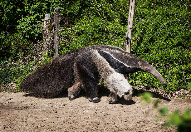 Giant anteater (Myrmecophaga tridactyla) Giant anteater (Myrmecophaga tridactyla) and electric fence. Giant Anteater stock pictures, royalty-free photos & images
