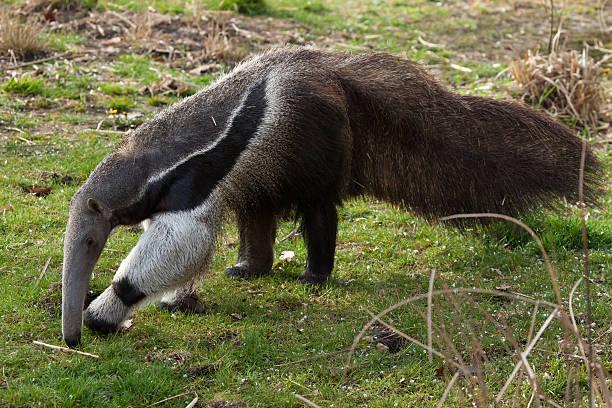 Giant anteater (Myrmecophaga tridactyla). Giant anteater (Myrmecophaga tridactyla), also known as the ant bear. Wild life animal. Giant Anteater stock pictures, royalty-free photos & images