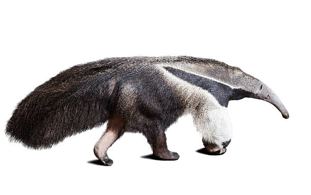 Giant anteater Giant anteater (Myrmecophaga tridactyla). Isolated over white Giant Anteater stock pictures, royalty-free photos & images