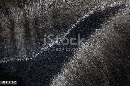 Giant anteater (Myrmecophaga tridactyla), also known as the ant bear. Skin texture. Wildlife animal.