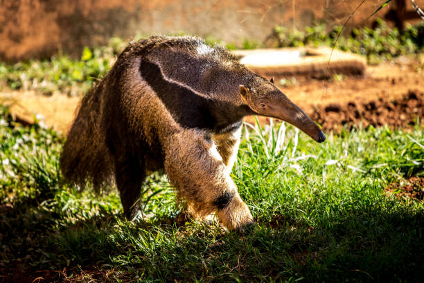 Giant anteater  - Tamandua Pet,  Animal Themes, Nature, beauty, Travel Destinations, Giant Anteater stock pictures, royalty-free photos & images