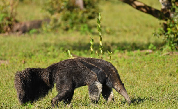 Giant Anteater, the Pantanal, Brazil. Giant Anteater on farmland, the Pantanal, Brazil Giant Anteater stock pictures, royalty-free photos & images