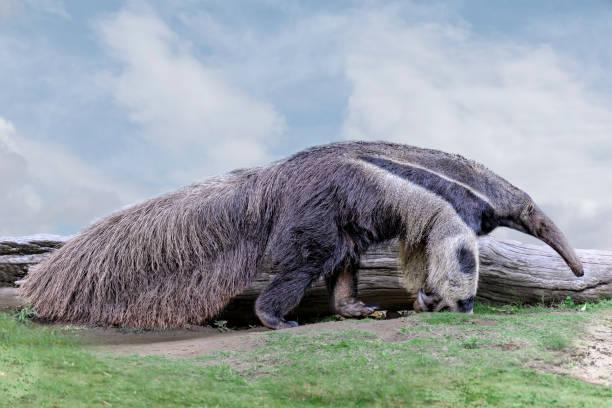 Giant anteater. (Myrmecophaga tridactyla)  waking on grass, blue sky Giant anteater. (Myrmecophaga tridactyla)  waking on grass, blue sky Giant Anteater stock pictures, royalty-free photos & images