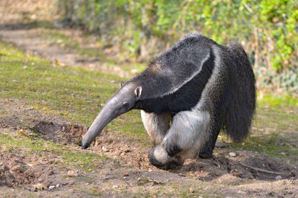 Giant Anteater walking on grass Closeup of Giant Anteater (Myrmecophaga tridactyla) walking on grass Giant Anteater stock pictures, royalty-free photos & images