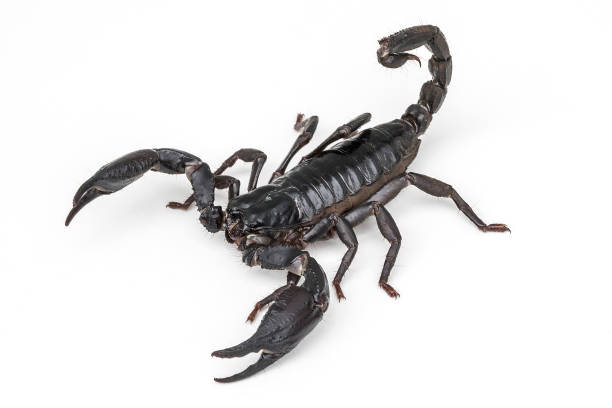 giant asian forest scorpion ready to sting on white background - scorpion stock photos and pictures