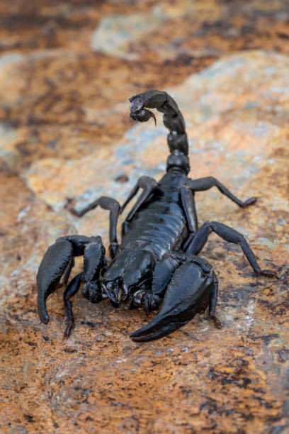 Giant Asian Forest Scorpion Ready To Sting stock photo