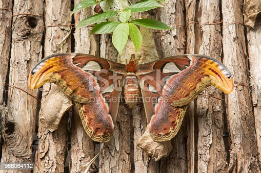 istock Giant Atlas Moth rests on a bark display. 986064112