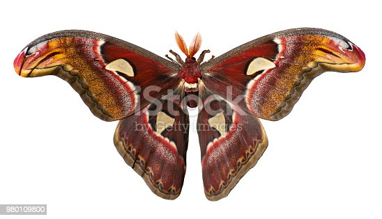 istock Giant atlas silk moth, Attacus atlas, is isolated on white background 980109800