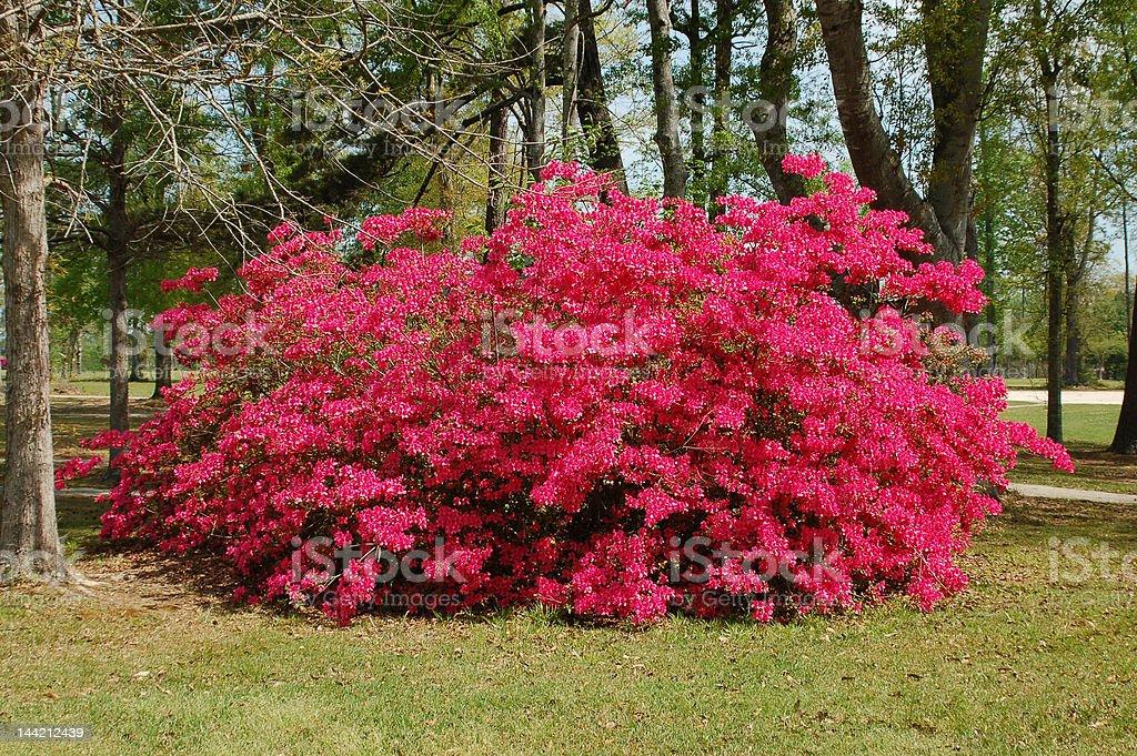 Giant Azalea stock photo