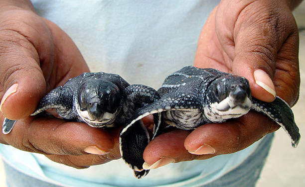 giant baby leatherback turtles - leatherback stockfoto's en -beelden