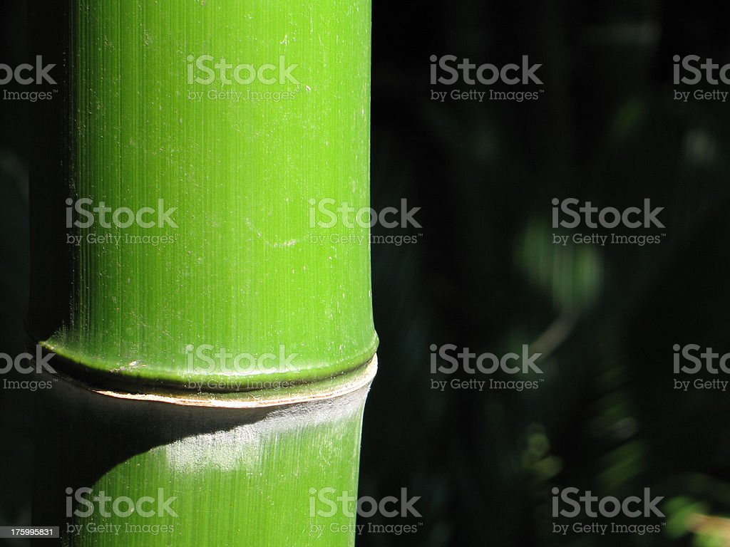 Giant Bamboo – detail of segment join royalty-free stock photo