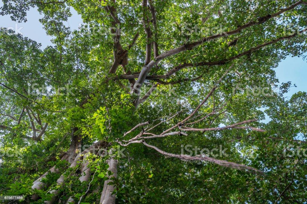 Giant banyan ficus tree, Cambodia foto de stock royalty-free