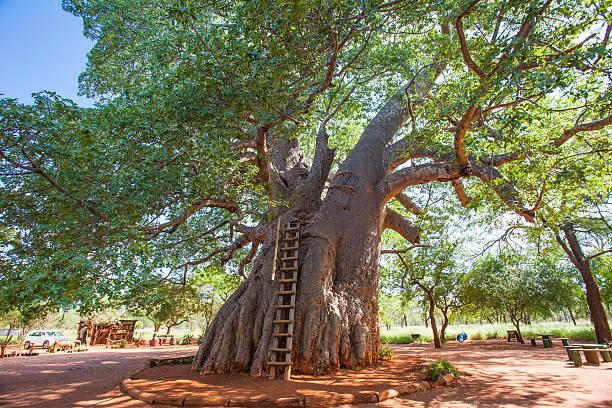 """Résultat de recherche d'images pour """"baobab"""""""