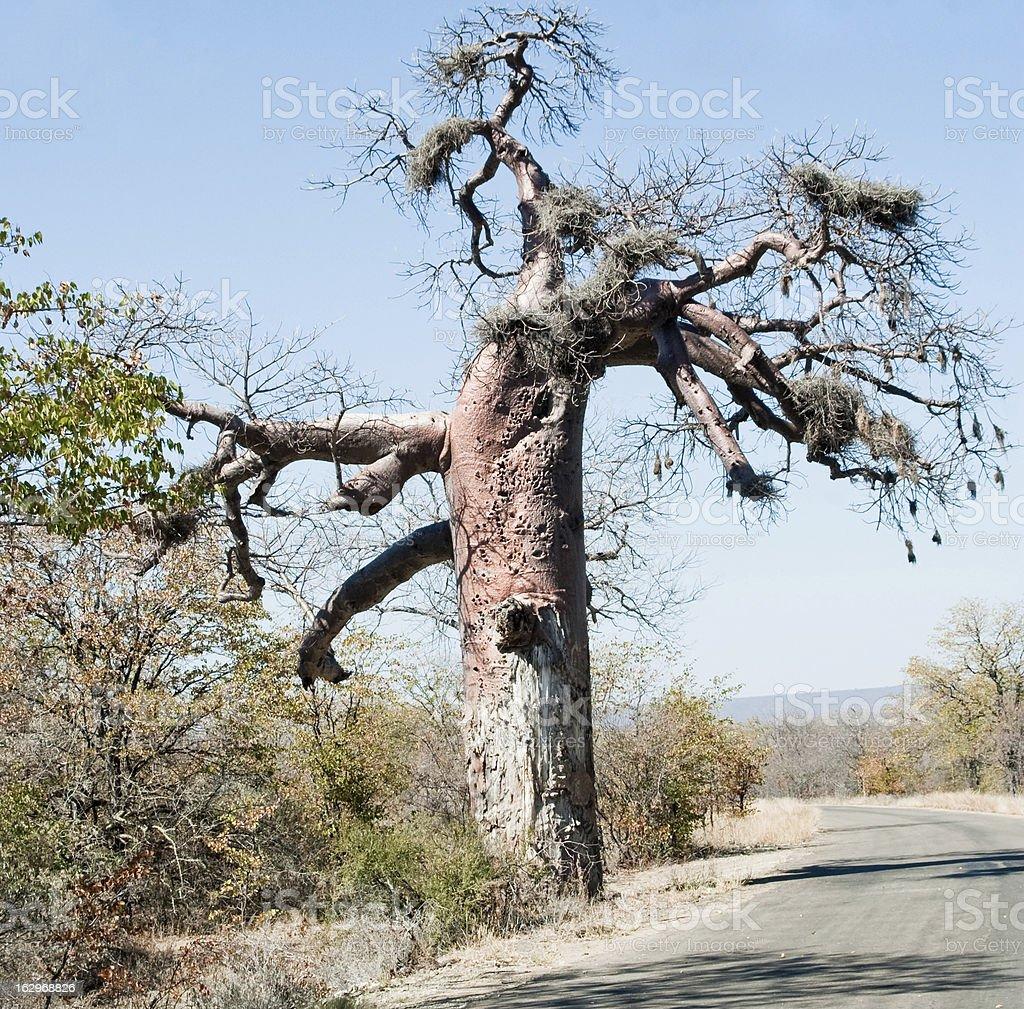 Giant Baobab Tree royalty-free stock photo