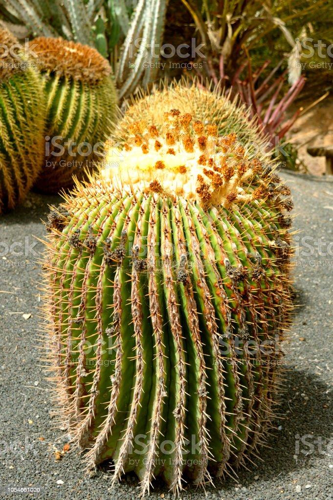 Cactus de barril gigante - foto de stock