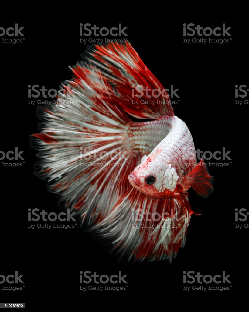 Giant Betta fish half moon stock photo