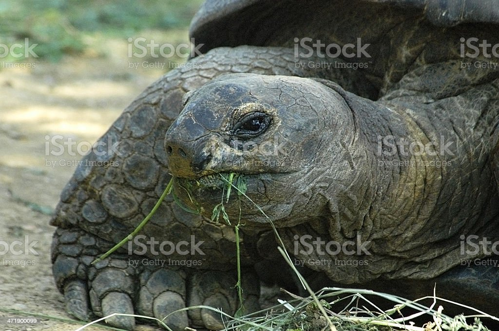 giant big tortoise stock photo