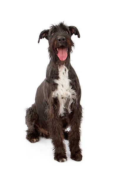 giant black schnauzer hund - riesenschnauzer stock-fotos und bilder