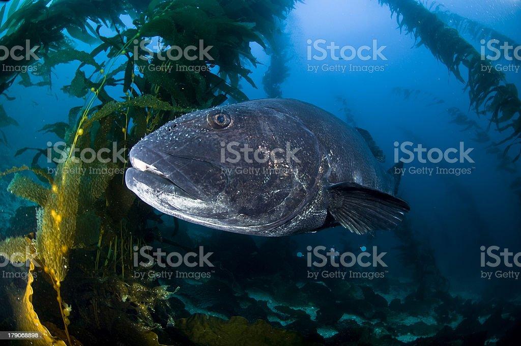 Giant Black Sea Bass stock photo