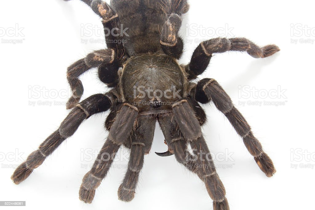 Giant Black Spider Stock Photo More Pictures Of Animal Istock