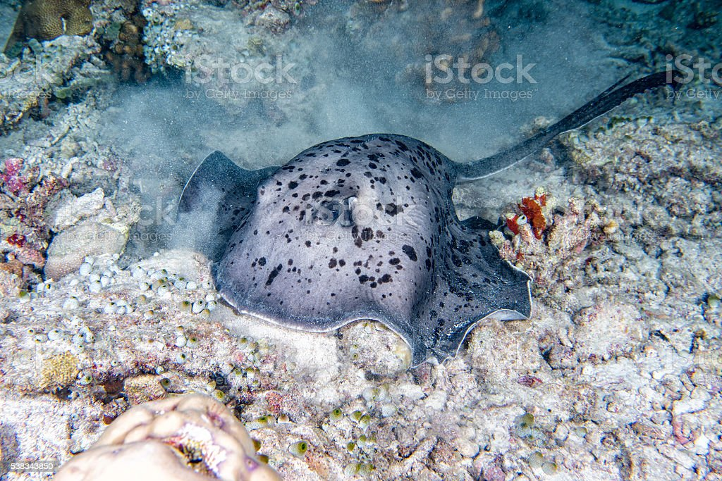 giant blackparsnip stingray fish during night dive stock photo