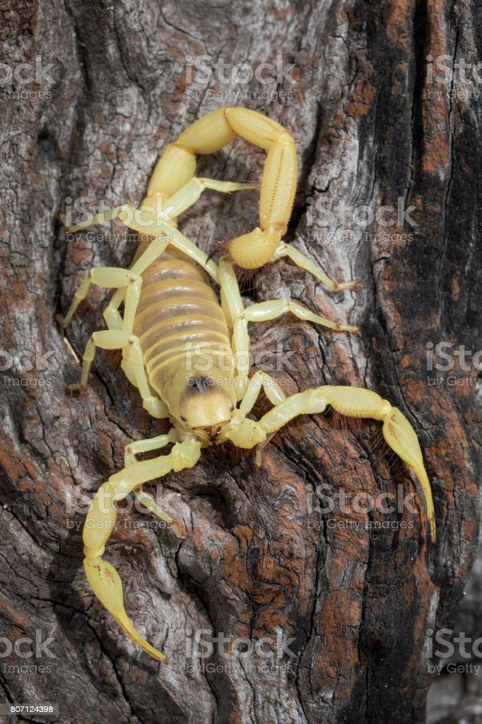 Giant Blonde Desert Hairy Scorpion (Hadrurus pallidus) royalty-free stock photo