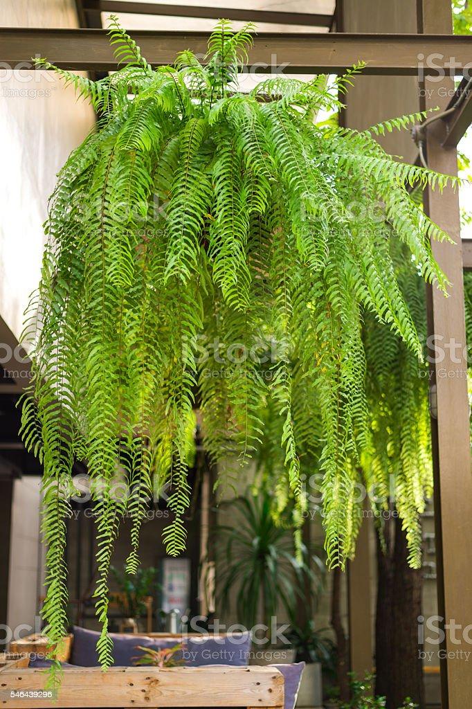 giant boston fern hanging pot – Foto