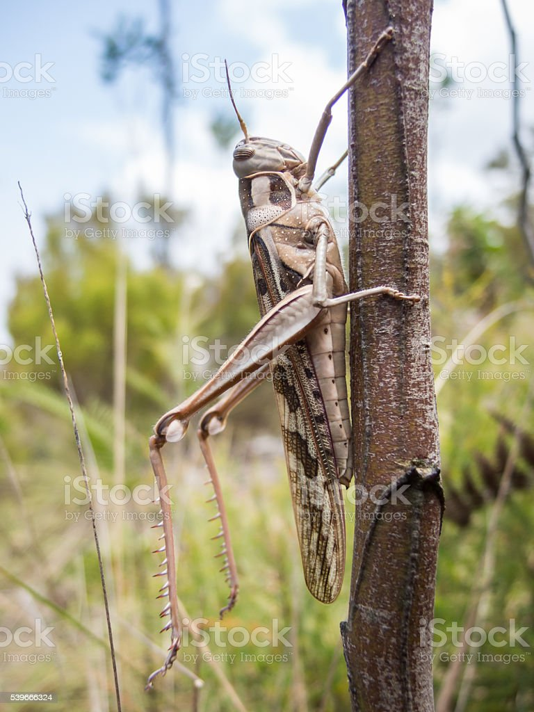 Giant Brown Grasshopper on Branch stock photo