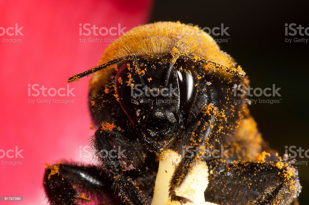 Giant bumble bee macro with pollen stock photo