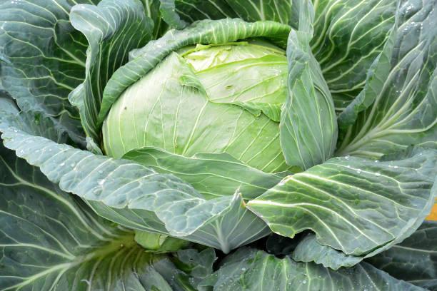 Giant cabbage stock photo