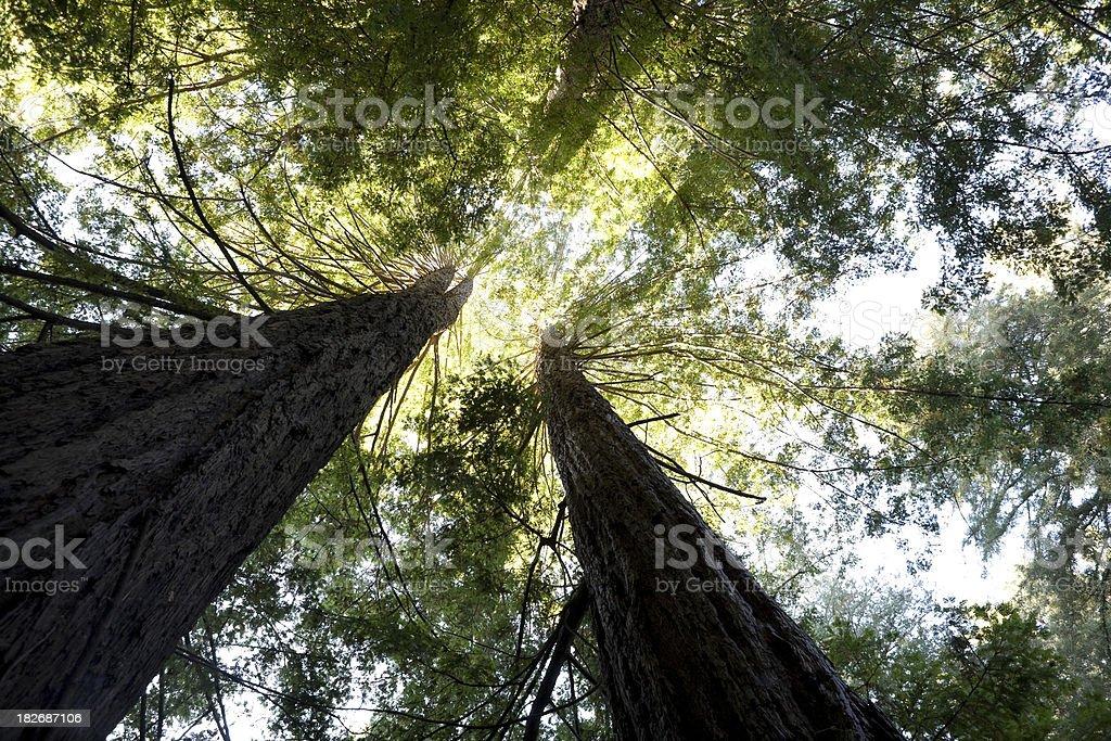 Giant California Redwoods royalty-free stock photo
