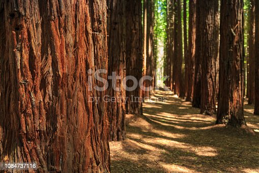 A heritage listed, national park with a Californian (Sequoia Sempervirens) Redwood forest, planted in 1930s in the Yarra Valley. Tourist hiking paths along the Yarra river, Victoria, Australia