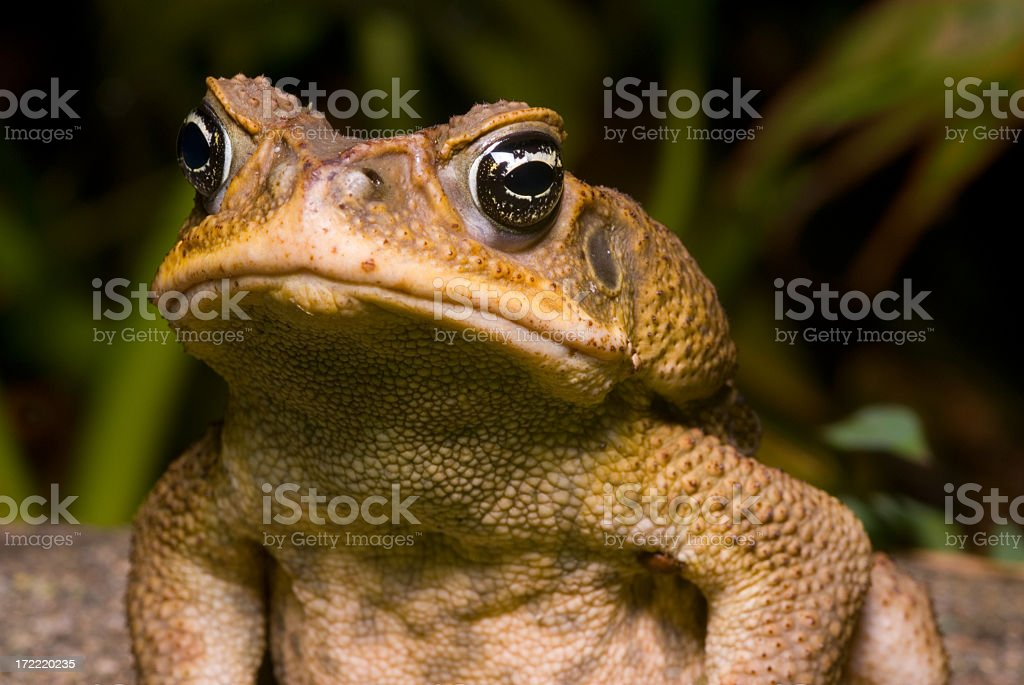 Giant Cane Toad in its natural habitat stock photo