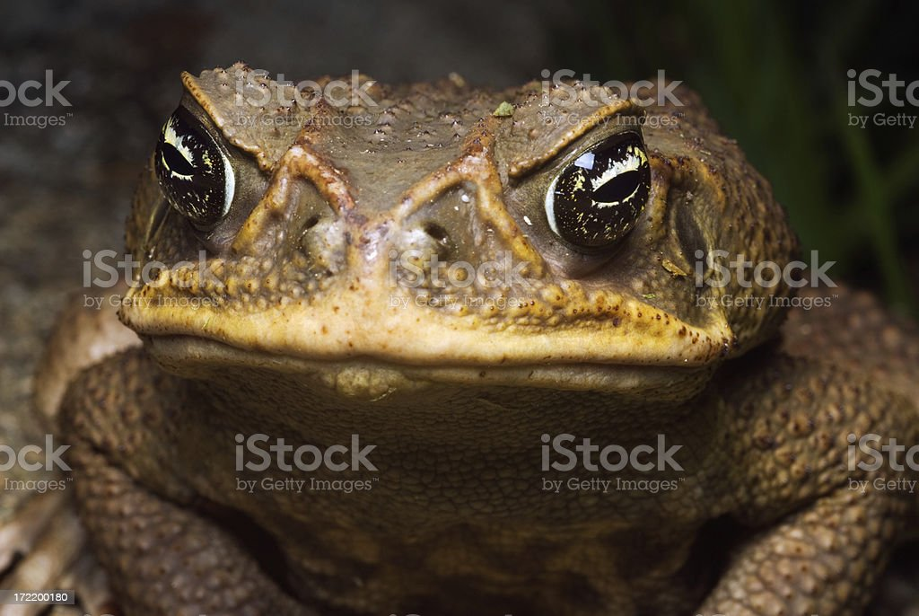 Giant Cane Toad stock photo