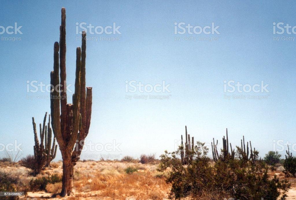 Cactus cardón gigante en Baja California Norte, México - foto de stock