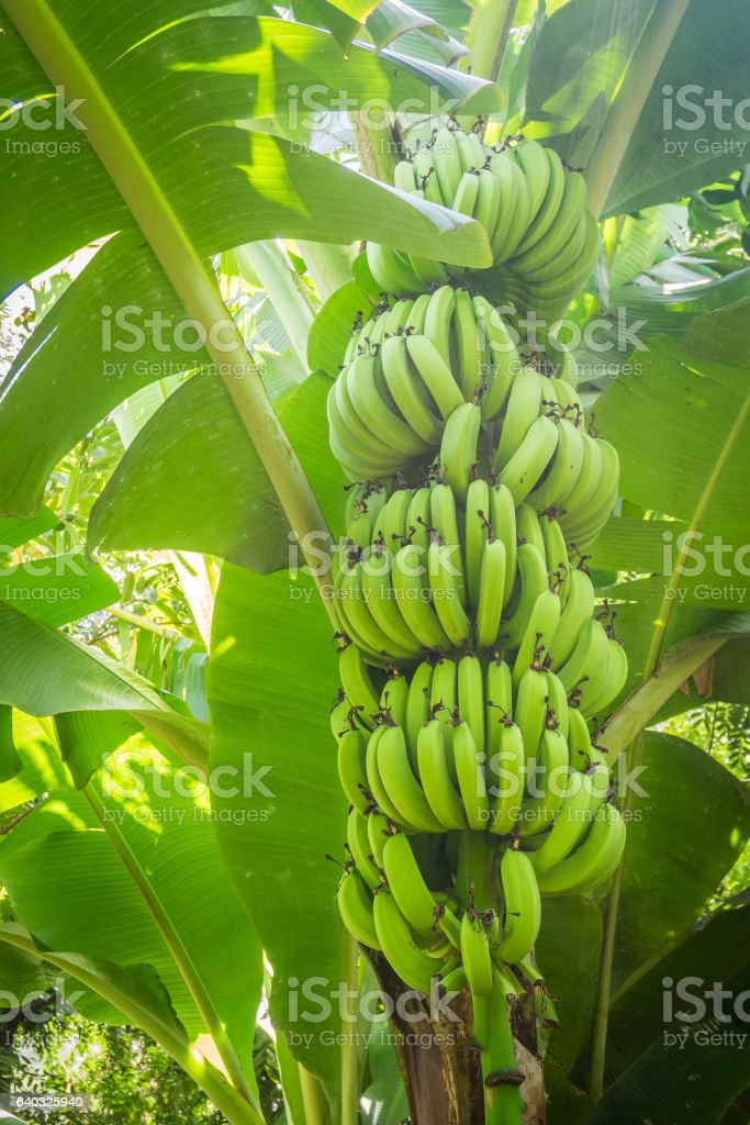 Giant cavendish banana bunch on the plantation stock photo