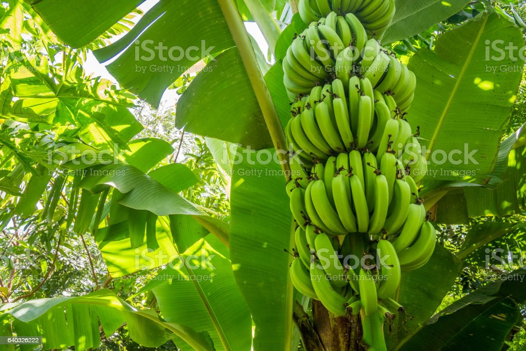 Giant cavendish banana bunch on the plantation – Foto