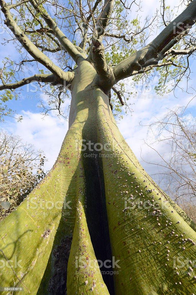 Giant ceiba tree grows up in sunny coast of Ecuador stock photo