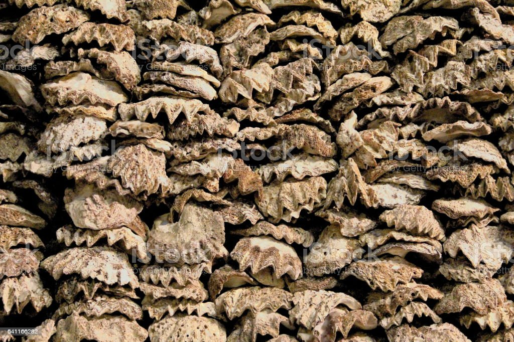 Giant clam Shell Texture stock photo