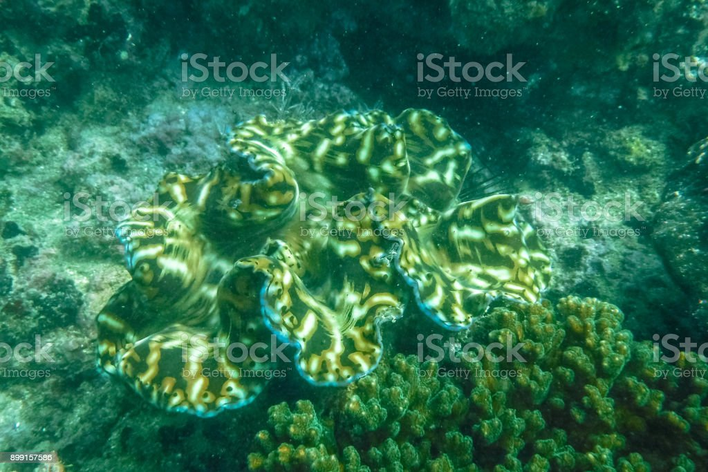 Giant Clam Shell Under The Sea Stock Photo More Pictures Of Animal