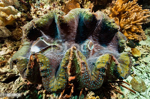 The Giant Clam Tridacna gigas, the largest extant species of bivalve molluscs, occurs in the tropical Indo-Pacific Ocean in a depth range from 0-35m. The outer side of the shell is designed to be encrusted by all kind of sessile animals. This specimen reaches at least the common length of 80cm. Max. recorded size is 137cm and 500kg! At the right side of the Clam a Whitespotted Devil = Jewel Damsel Plectroglyphidodon lacrymatus, his design and the one of the clams mantle are almost the same! It looks amazing, but probably it's pure coincidence. Raja Ampat, Indonesia, 0°33'45