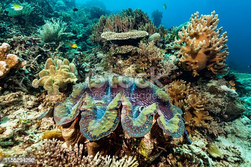 The Giant Clam Tridacna gigas, the largest extant species of bivalve molluscs, occurs in the tropical Indo-Pacific Ocean in a depth range from 0-35m. The outer side of the shell is designed to be encrusted by all kind of sessile animals. This specimen reaches at least the common length of 80cm. Max. recorded size is 137cm and 500kg! Some Damselfishes, Staghorn Damselfish Amblyglyphidodon curacao and Black-and-gold chromis = Behn's Damsel Neoglyphidodon nigroris, a lot of soft and hard corals. Raja Ampat, Indonesia, 0°33'45