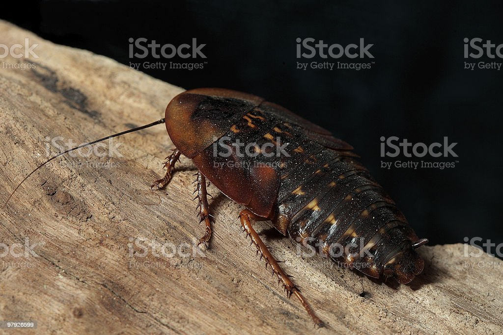 Giant Cockroach royalty-free stock photo