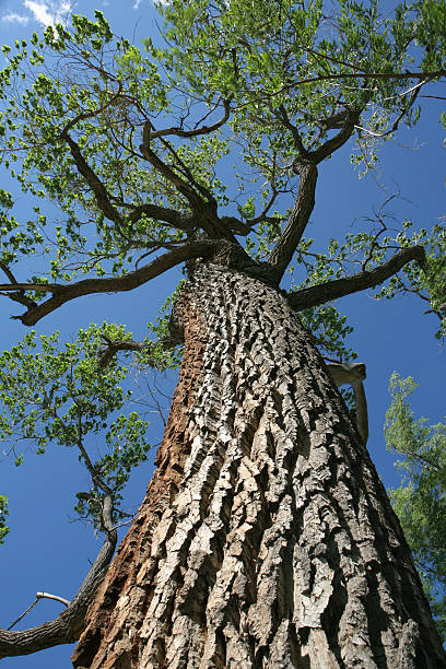 giant cottonwood giant cottonwood tree, low angle view. cottonwood tree stock pictures, royalty-free photos & images